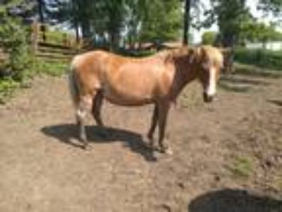 14 Year Old Haflinger Cross