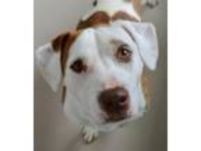 Adopt Cain a Pit Bull Terrier / Mixed dog in Vineland, NJ (25149894)