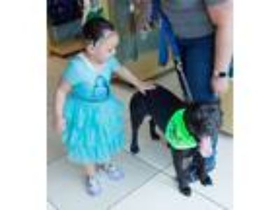 Adopt Pantera a Black American Staffordshire Terrier / Mixed Breed (Medium) /