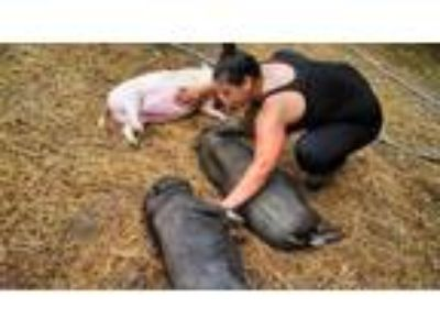 Adopt 3 Piggies Went to a New Home a Pig (Potbellied) farm-type animal in