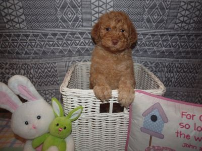 AKC/CKC Double Registered Standard Poodles-Accepting Deposits! Financing Available!!