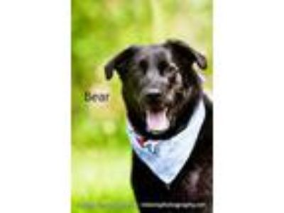 Adopt Bear a Black Retriever (Unknown Type) / Mixed dog in Cedar Rapids