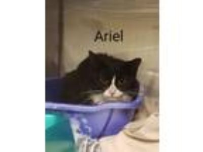 Adopt Ariel (Strait Dr) a Domestic Short Hair