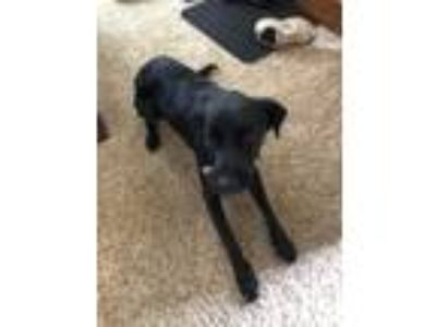 Adopt Josephine a Black Plott Hound / Shepherd (Unknown Type) / Mixed dog in