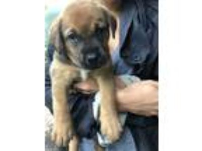 Adopt Zenny a Brown/Chocolate - with Black German Shepherd Dog / Labrador