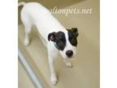 Adopt Kendra a Tricolor (Tan/Brown & Black & White) Hound (Unknown Type) / Mixed