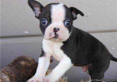 Intelligent Boston Terrier puppies for sale