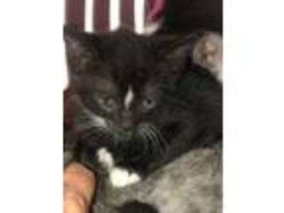 Adopt Queen Arianna a All Black Domestic Shorthair / Domestic Shorthair / Mixed