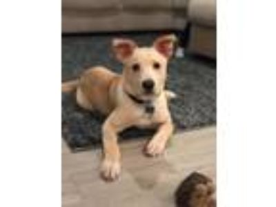 Adopt Dasher a Labrador Retriever, Shepherd