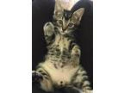 Adopt SMALLS - Adopt Me With My Mom! a Domestic Short Hair, Bengal
