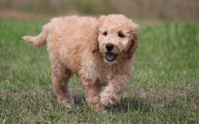 F1 Goldendoodles Puppies