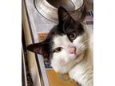 Adopt GAC#6-apr19 a White Domestic Shorthair / Domestic Shorthair / Mixed cat in
