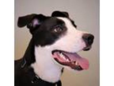 Adopt Lucy a Labrador Retriever, Border Collie