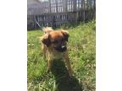 Adopt Bobby a Tan/Yellow/Fawn - with Black Border Collie / Black Mouth Cur /