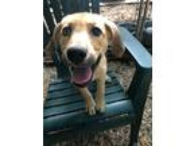Adopt Spectrum a Tan/Yellow/Fawn Husky / Hound (Unknown Type) / Mixed dog in