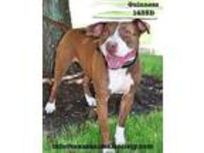 Adopt Guinness a Pit Bull Terrier / Terrier (Unknown Type