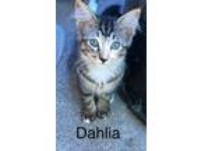 Adopt Val's kitten#2 Dahlia a Domestic Short Hair