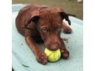 Adopt Hasbrown a Brown/Chocolate Labrador Retriever dog in Evansville