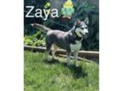 Adopt ZAYA a Siberian Husky / Mixed dog in Lindsay, CA (25609222)