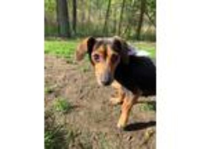 Adopt Daisy a Brown/Chocolate - with Tan Dachshund / Mixed dog in Clifton Park