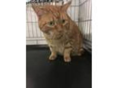 Adopt Elliot a Domestic Short Hair