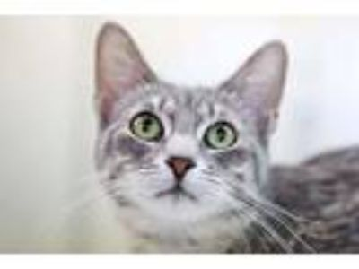 Adopt Sassy a Domestic Short Hair