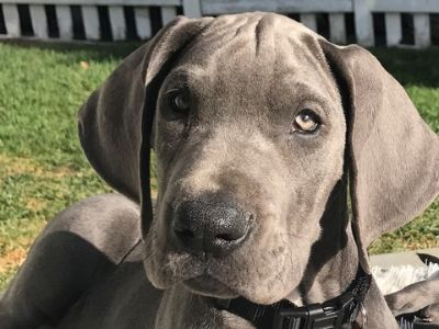 Great Dane PUPPY FOR SALE ADN-75873 - Great Dane Pups AKC Blue Champ Lines