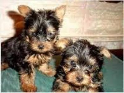 TINY YORKIE POO BABY PUPPY one male left