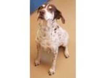 Adopt Kingston a German Shorthaired Pointer