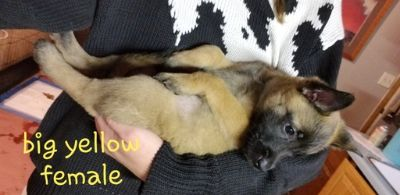 Belgian Malinois PUPPY FOR SALE ADN-101747 - Malinois Puppys