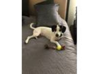 Adopt Dug a White - with Brown or Chocolate Beagle dog in Clermont