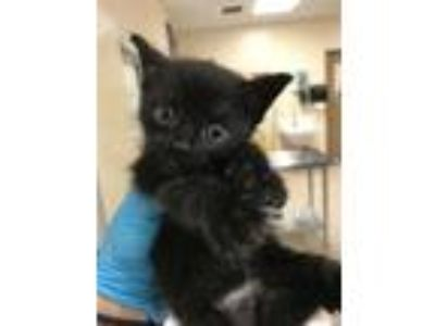Adopt Monica a Domestic Mediumhair / Mixed cat in Birmingham, AL (25850821)