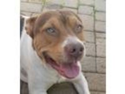 Adopt Spencer a Pit Bull Terrier