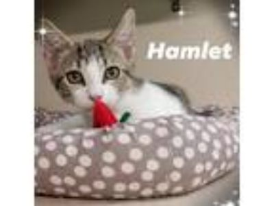 Adopt hamlet a Gray or Blue Domestic Shorthair cat in League City, TX (25559916)