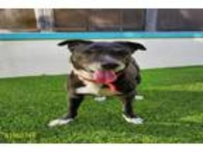 Adopt A1960744 a German Shorthaired Pointer, Mixed Breed