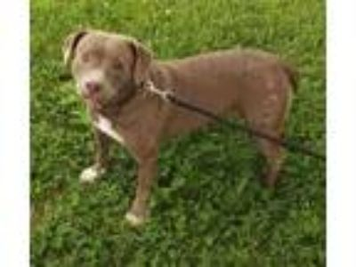 Adopt Barbary a Gray/Blue/Silver/Salt & Pepper American Pit Bull Terrier / Mixed