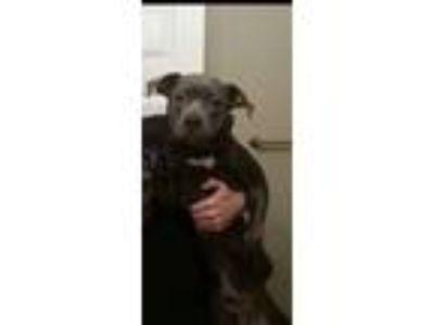 Adopt Odin a Gray/Blue/Silver/Salt & Pepper American Pit Bull Terrier dog in La