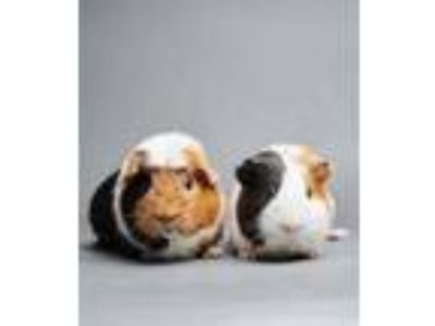 Adopt Rum a White Guinea Pig / Guinea Pig / Mixed (short coat) small animal in