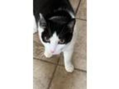 Adopt Jeremy a Black & White or Tuxedo Domestic Shorthair cat in Niantic