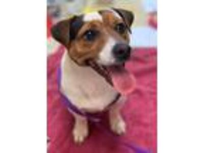 Adopt Jerry a Jack Russell Terrier