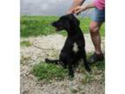 Adopt Tank a German Shepherd Dog / Labrador Retriever / Mixed dog in Osage