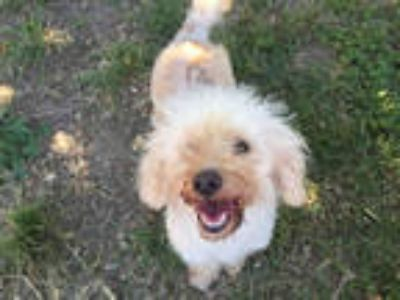 Adopt SUGAR* a White Poodle (Miniature) / Mixed dog in Santa Cruz, CA (25586641)