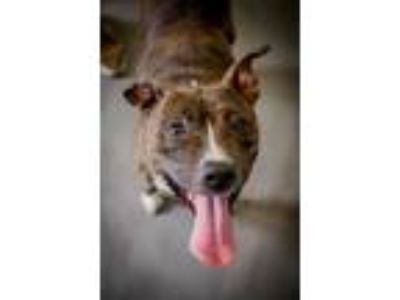 Adopt Bella a Staffordshire Bull Terrier