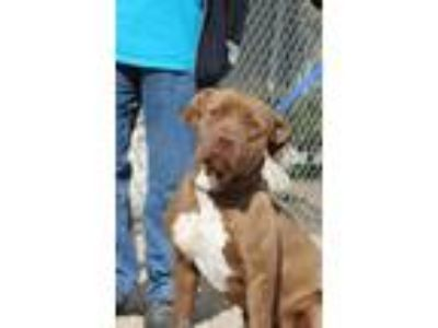Adopt Coco Nyx Masie a Brown/Chocolate - with White Pit Bull Terrier / Mixed dog