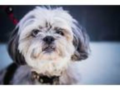 Adopt Eartha a White Shih Tzu / Lhasa Apso / Mixed dog in Los Angeles