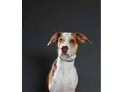 Adopt Brownie a Brown/Chocolate Hound (Unknown Type) / Mixed dog in Wausau