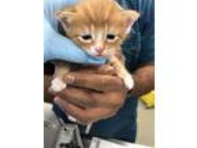 Adopt CASHEW a Orange or Red Domestic Mediumhair / Mixed (medium coat) cat in