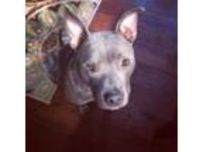 Adopt Joey2 a Gray/Blue/Silver/Salt & Pepper Pit Bull Terrier / Mixed dog in