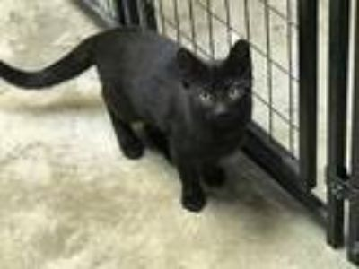 Adopt Boone a Black (Mostly) American Shorthair (short coat) cat in Sparta