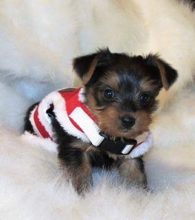 Yorkshire Terrier PUPPY FOR SALE ADN-54583 - YORKSHIRE TERRIER PUPPY